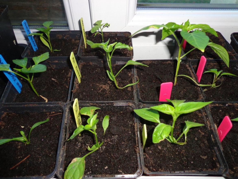 Jonge perperplanten