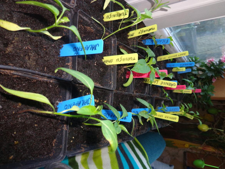 Jonge paprika en peperplanten