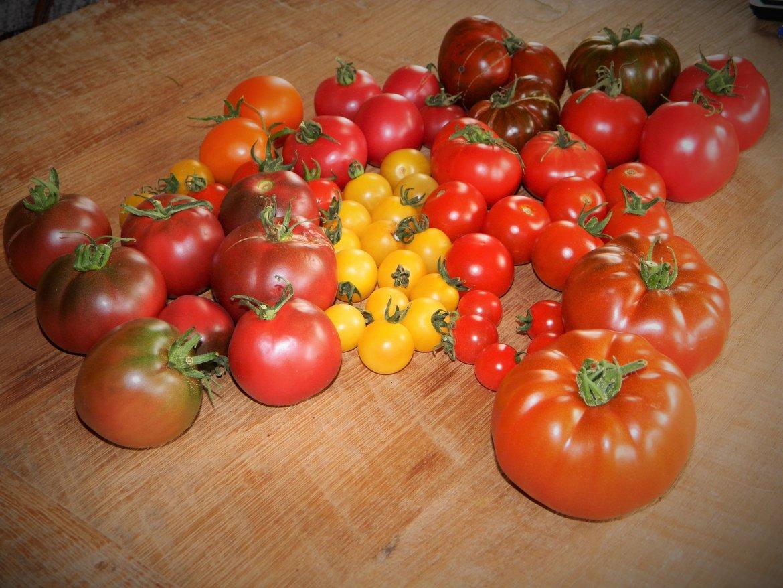 Oogst tomaten