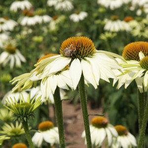Meerjarige bloemen